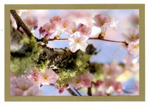 Pink Cherry blossoms 2