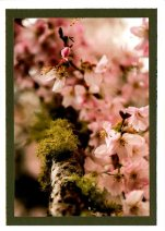 Peach cherry blossoms