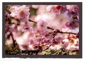 Pink herry blossoms 1