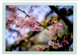 Pink Cherry blossoms 3