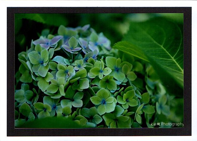 website-hydrangeas