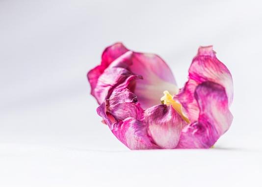 Tulip May2-69